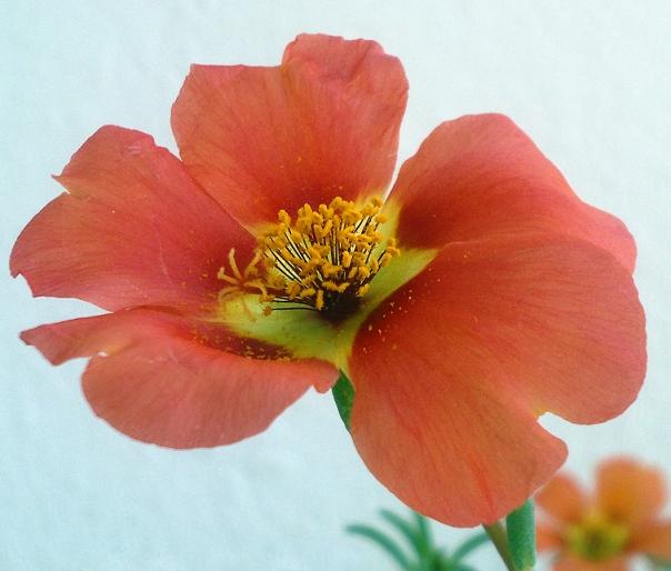 Flower_Nokia_N8_Macro